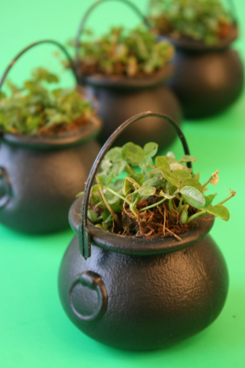 Shamrock filled mini pots