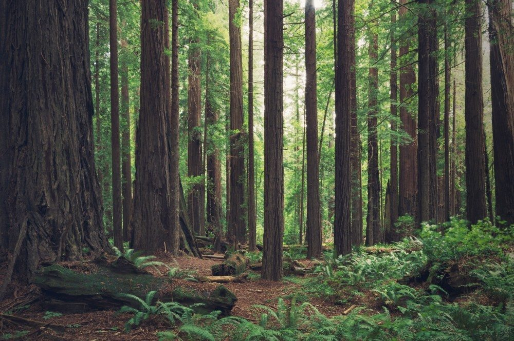 Redwood forest in northern California, USA.