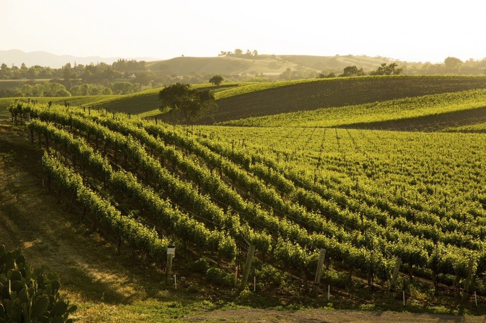 A beautiful hillside vineyard of Sauvignon Blanc grapes in central California.