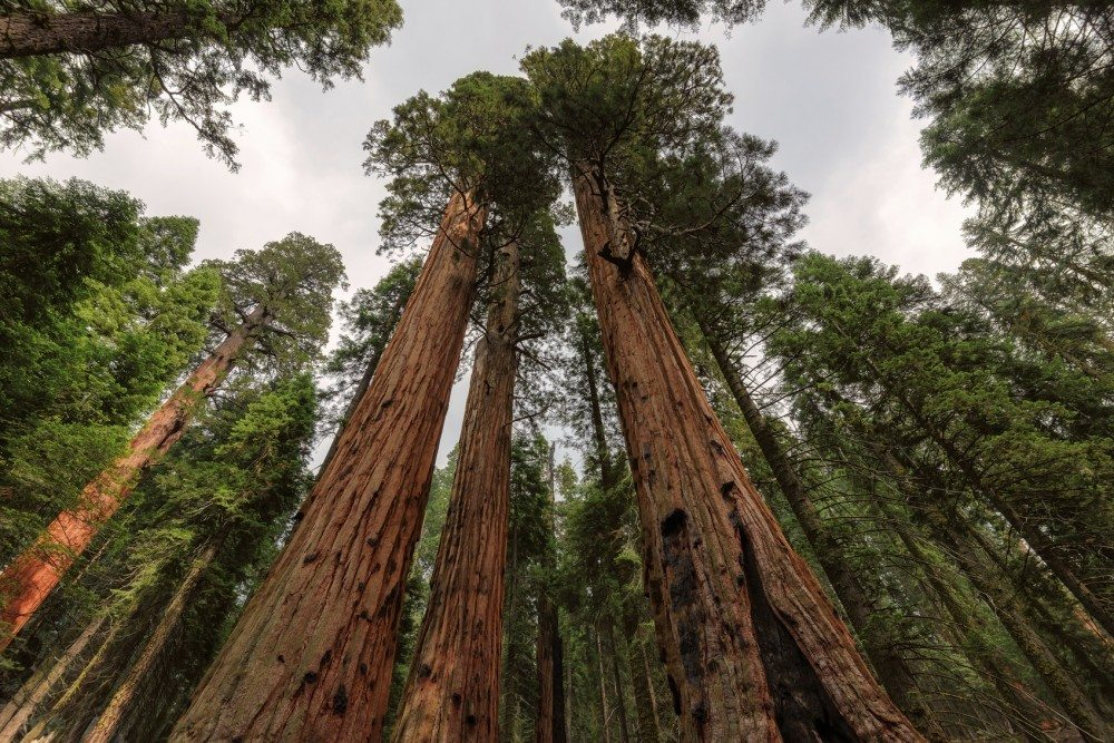 Ancient Giant Sequoias Forest in Sequoia National Park, California, United States.